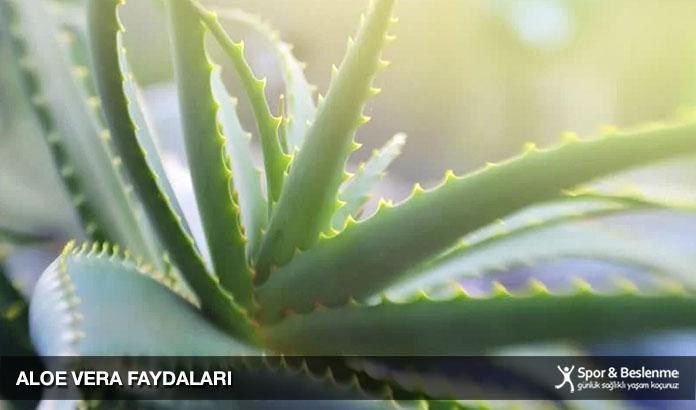 aloe vera bitkisi faydaları nelerdir